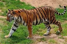 Ketahui Fakta Seputar Harimau Hewan Yang Dilindungi Namun