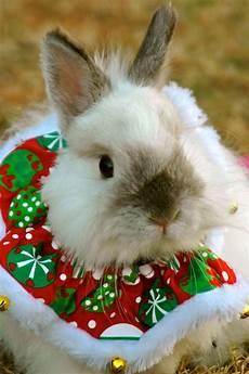 christmas bunny christmas hamster christmas animals christmas bunny