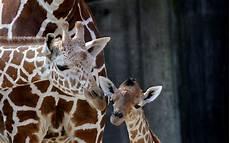 les animaux en voie de disparition le br 233 sil pr 233 voit de cloner les animaux en voie de disparition