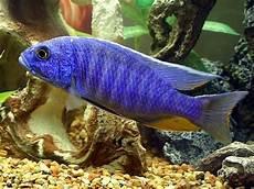 electric blue cichlid god s imagination