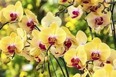 immagini fiori orchidee come coltivare le orchidee non sprecare