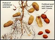 Apakah Gambar Morfologi Akar Tumbuhan Kacang Tanah