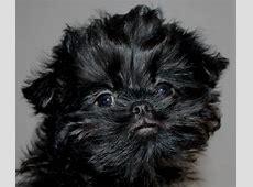 11 month old affenpinscher puppy   St Neots