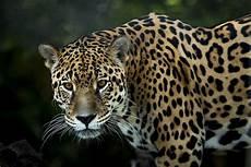 life in 360 176 panthera onca vrfocus