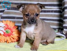 chihuahua mix welpen mac chihuahua mix puppy for sale keystone puppies