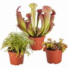 fleischfressende pflanzen mix 3 pflanzen h 246 he 10 20 cm