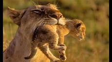 showing why lions are beautiful animals youtube