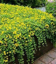 bodendecker gelb winterhart winterharter bodendecker lysimachia gelbes pfennigkraut 3