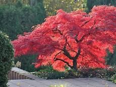 erable nain du japon les 201 rables du japon jardinerie riera