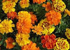 tagete fiore dies und das vom neckarstrand tagetes der leuchtende