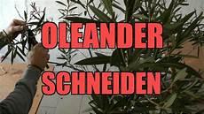 schneiden frühling oleanderschnitt wie schneide ich einen oleander