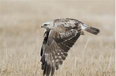 for the birds legged hawk buteo lagopus