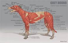 Dog Muscle Chart Poon Animal Anatomy Charts