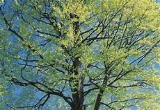 bäume schneiden bei bekannt zierb 228 ume schneiden xd89 casaramonaacademy