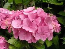 wie schneidet hortensien hortensien richtig schneiden garten hortensien garten