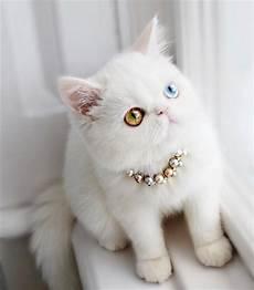 Mengapa Kucing Mempunyai 2 Warna Mata Berbeza Kongxie
