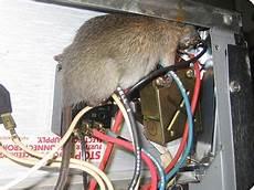 comment se débarrasser des rats comment se d 233 barasser des rats les causes d infestation