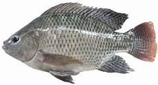 Teknik Teknik Khusus Petani Sukses Cara Budidaya Ikan Nila