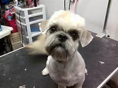 shih tzu haircut hairstylo