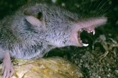 ratten fangen tipps ratten im garten erkennen haus image ideen