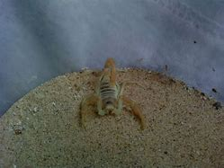 Image result for Beautiful Scorpion