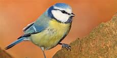 welcher vogel singt wann nabu vogeluhr