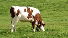 la vache qui broute