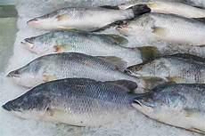 9 Jenis Ikan Air Payau Budidaya Konsumsi Hias