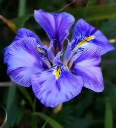 iris fiore immagini l iris significato e curiosit 192