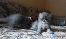 annunci gatti persiani gatti persiani in vendita a novara no