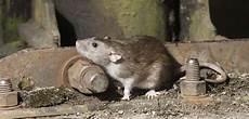 Ihr Partner Bei Der Bek 228 Mpfung Ratten Adonex