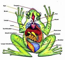 frog anatomy diagram labeled fish and hibians flashcards by proprofs