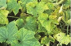 Gurke Gelbe Blätter - gurken und zucchini krankheiten sch 228 dlinge und