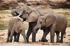 Malvorlage Afrikanischer Elefant Afrikanischer Elefant Loxodonta Africana Naturbild