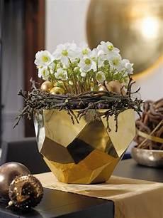 Christrose Im Zimmer - christrosen kaufen helleborus niger verboom