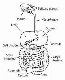 human digestive system drawing at getdrawings com free for personal use human digestive system