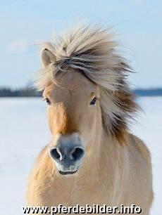 ausmalbilder pferde norweger fjordpferd norweger im winter fjordpferd norweger