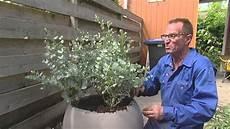 eucalyptus azura mahonia soft caress