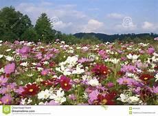 carolina cosmos flowers in september stock image