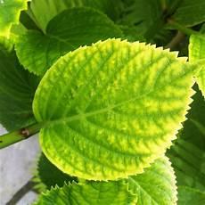 Hortensien Krankheiten Blätter - gelbbl 228 tterige hortensie gelb hortensien