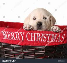 yellow lab puppy in a merry christmas basket 43000120