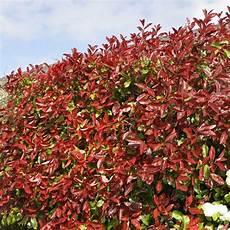 Photinia Robin Plantes Et Jardins
