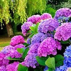 hortensien pflanzen und pflegen mein sch 246 ner garten