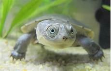 tortue eau douce aquarium vos aquarium eau chaude ou froide poissons ou tortue