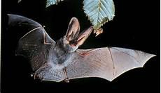 le chauve souris les chauves souris elles aussi ont un accents etrange et