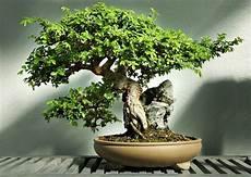 ulme bonsai baum pflege standort indoor garten ideen