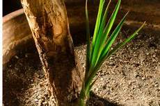 oleander 252 ber stecklinge vermehren 187 so gelingt s