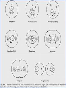phases of meiosis worksheet mychaume com