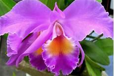 Menakjubkan 21 Bunga Anggrek Orchid Gambar Bunga Hd