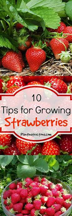 Gardening Strawberries by 10 Tips For Growing Strawberries Growing Strawberries